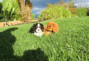 beautiful male and female,  yorkshire puppies