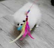 Gorgeous Tiny Teacup Pomeranian puppies,  purebred