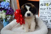 St. Bernard well trained and vaccinated.