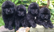 newfoundland puppies purebred for sale