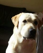 Labrador For Stud-Proven &Hip/Elbow/Eye Tested