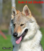 Czechoslovakian wolfdog,  FCI