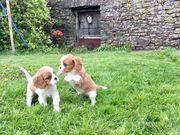 Wonderful Cavalier King Charles Spaniel Puppies Ready.
